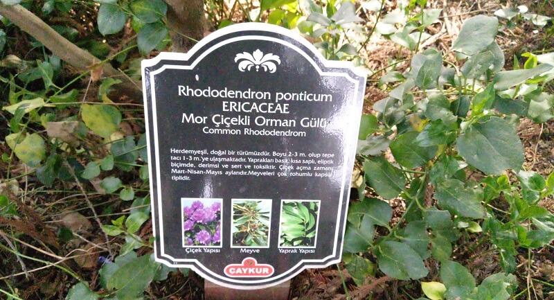 Mor Çiçekli Orman Gülü  Ziraat Botanik Çay Bahçezi