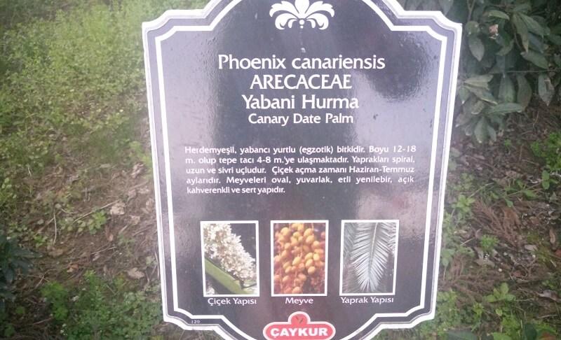Yabani Hurma